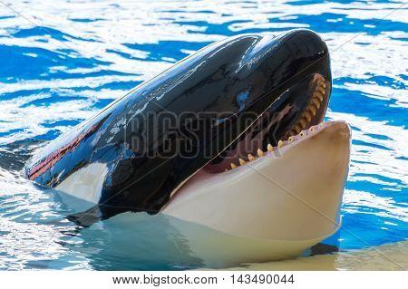 Close up of a big Killer whale
