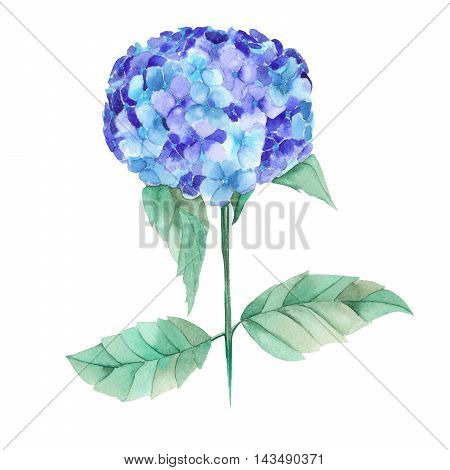 An illustration with an isolated bouquet of the beautiful watercolor blue Hydrangea flowers on a white background