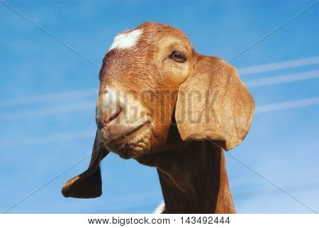 goat with long ears brown fur and blue sky