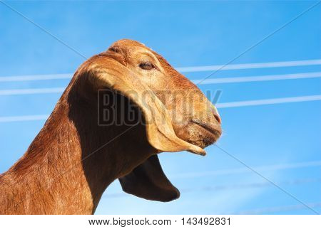 brown goat with long ears on blue sky