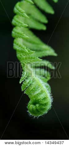 Macro of the tip of an unfurling tree fern frond