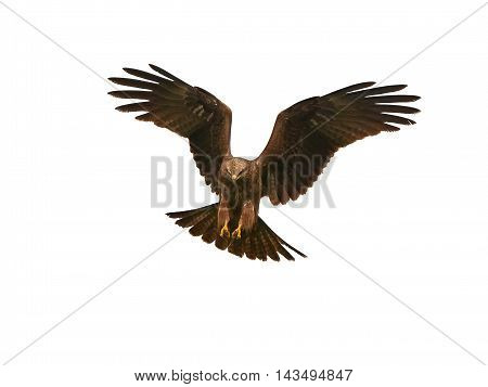 Black kite (Milvus migrans) in flight isolated on a white background