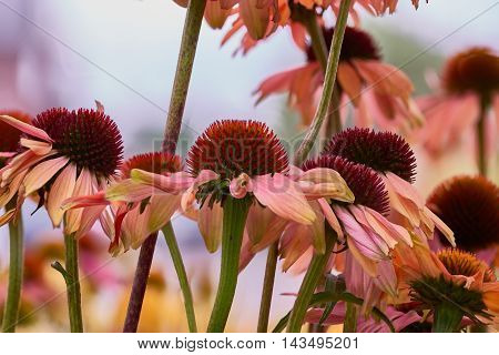 Natural arrangement of rose withering flowers in the garden with background soft focus and sky.