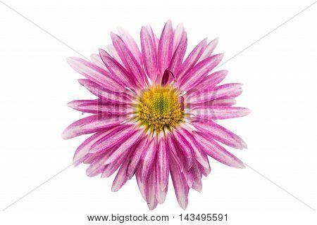 pink chrysanthemum violet  flower on white background