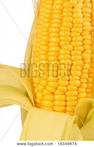 A fresh corn cob, isolated on white