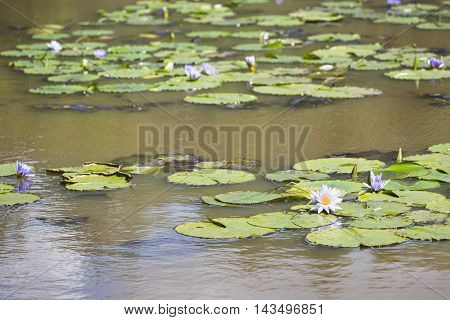 Water Lilies In Karura Forest, Nairobi, Kenya