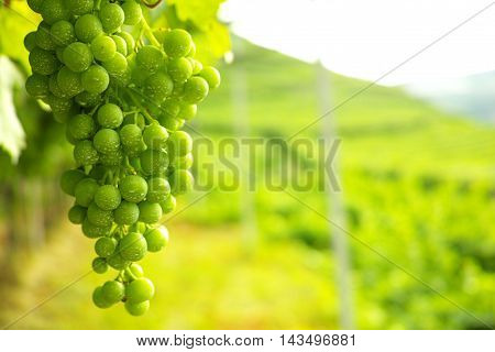Trentino vineyards in the summer in Italy