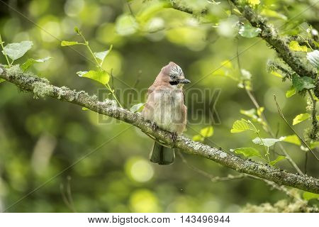 Jay, Juvenile, Perched On A Branch In A Forest
