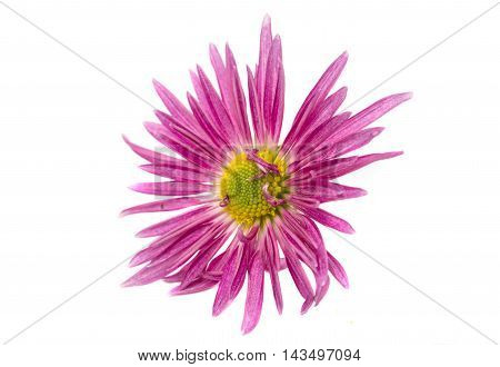 pink  one flower chrysanthemum on white background