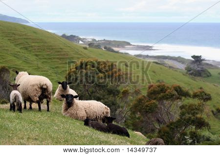 Sheep and lambs in a green meadow, overlooking the ocean