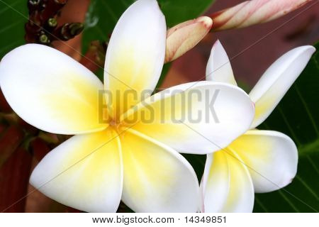 Glorious yellow and gold frangipani (plumeria).