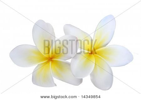 Two beautiful white and yellow frangipani (plumeria) flowers, isolated on white.