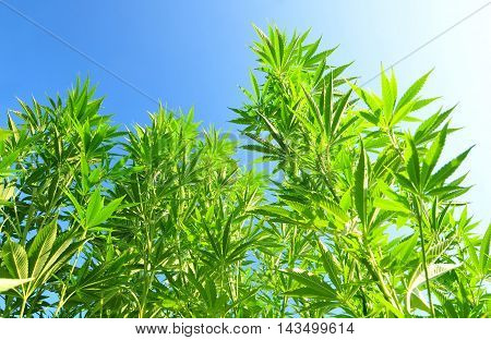 Growing cannabis plant with blue sky in the background