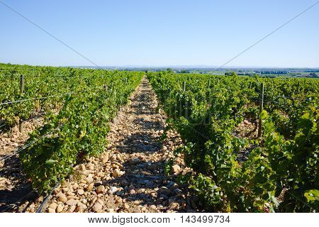 Vineyards in chateau Châteauneuf-du-Pape France in summertime