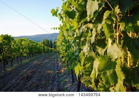 Tuscany vineyards in the summer in Italy