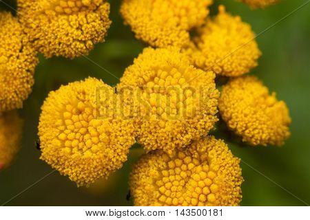 Yellow Field Tansy