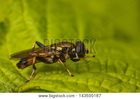 The fly sits on a green leaf