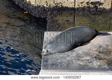 Sydney, Australia - Aug 21, 2016. A New Zealand fur seal sleeps on the steps of the Sydney Opera House.