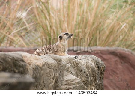 meerkat sitting on the rock and lookout in nature