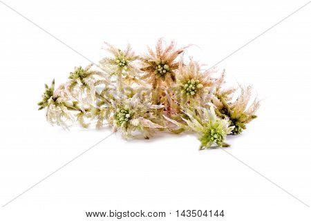 Sprigs of sphagnum moss isolated on white background