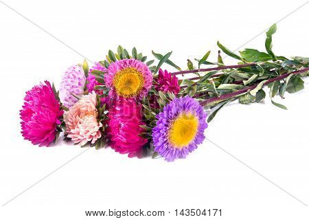 Garden plants Asters flowers isolated on white background