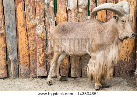North African barbary sheep with large horns
