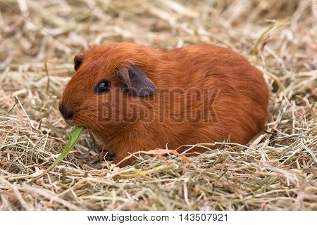 young guinea pig eating dandelion on the hay