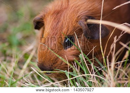 red young guinea pig in the grass