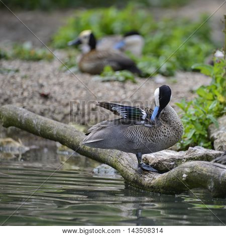 Lovely Puna Teal Anus Puna Bird Duck Preening Itself On Riverbank