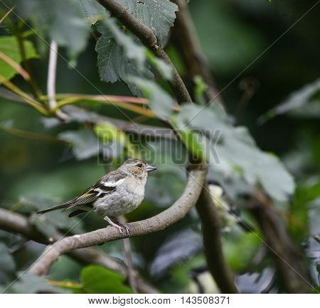Portrait Of Female Chaffinch Fringilla Coetebs Bird Sat On Branch In Tree