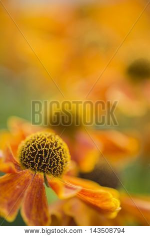 Stunning Macro Close Up Of Black Eyed Susan Flower With Shallow Depth Of Field For Effect