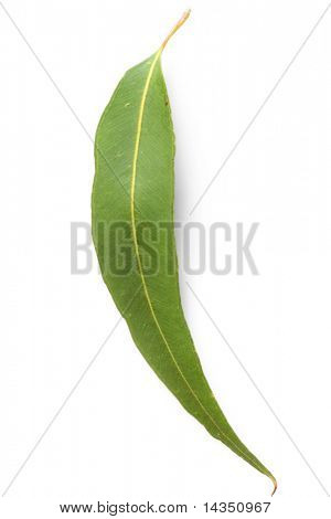 Single gum leaf, isolated on white.