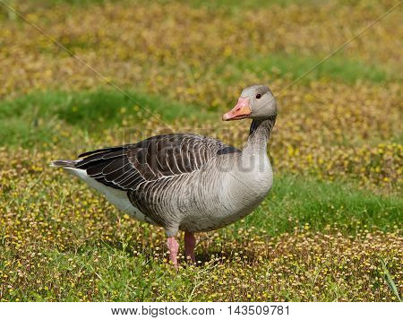 Greylag goose (Anser anser) standing on the ground in yellow flowers