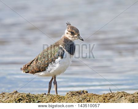 Juvenile Northern lapwing (Vanellus vanellus) in its natural habitat