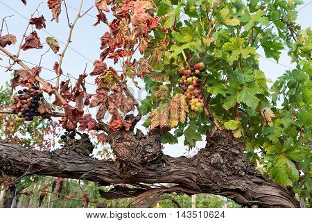Colored grapes before becoming red in a vineyard against a blue sky