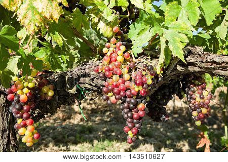 Sunny colored grapes before becoming red in the vineyard