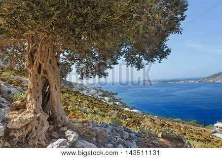 South European landscape with huge ancient olive tree and sea blue bay on Greek Kalymnos island