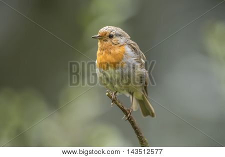 Robin Redbreast, Juvenile, Perched On A Branch