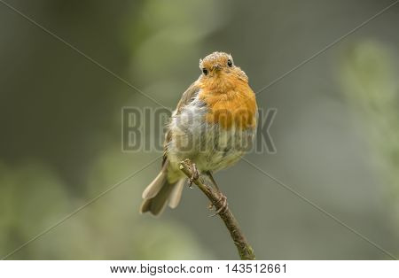 Robin Redbreast, Perched On A Branch, Close Up