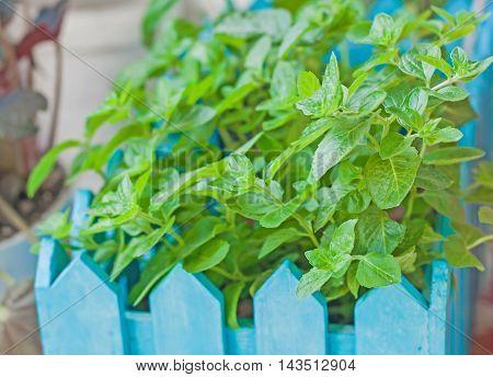 bush of mint in a wooden flowerpot.