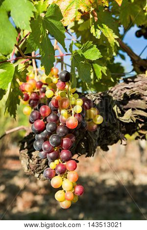 Closeup of sunny colored grapes before becoming red in the vineyard