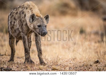 Young Spotted Hyena In The Kruger.