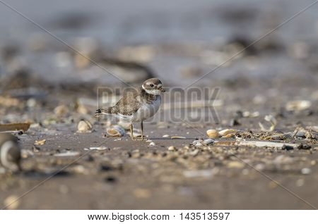 Ringed Plover Standing On The Beach In The Autumn