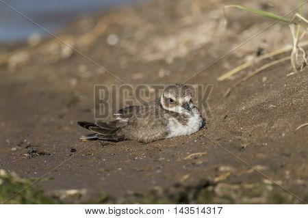 Ringed Plovers Sitting On The Beach, Close Up