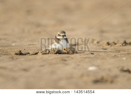 Ringed Plovers Sitting In A Hole In The Sand