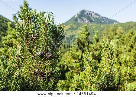 Mountain Pine Cones.