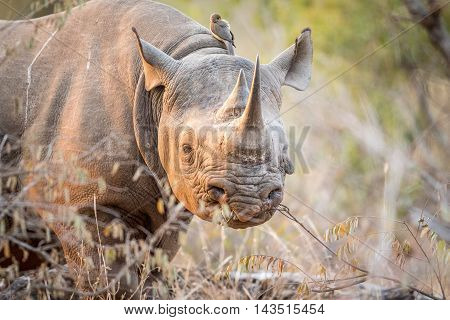 Starring Black Rhino In The Kruger.