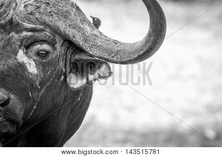 Starring Buffalo Bull In Black And White In The Kruger.