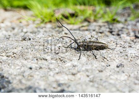 Profile Beetle Monochamus Sartor.