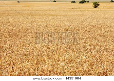 Background of golden wheatfield.  Lonely trees in the background.